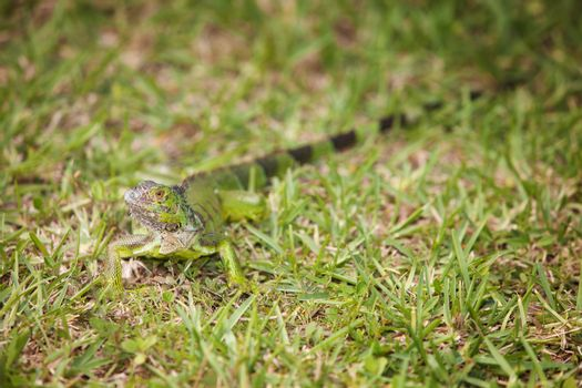 Curious Iguana in the Grass