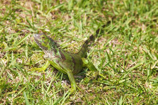 Iguana in the Grass