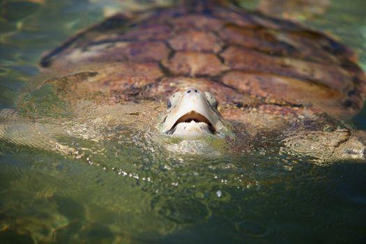 Carribean Sea Turtle