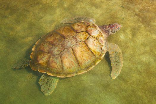 Carribean Sea Turtle Swimming