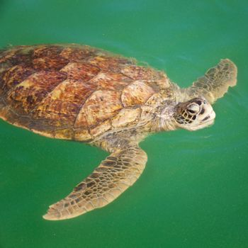 Sea Turtle in the Caribbean