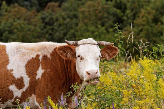 motley cow graze in a field (free range)