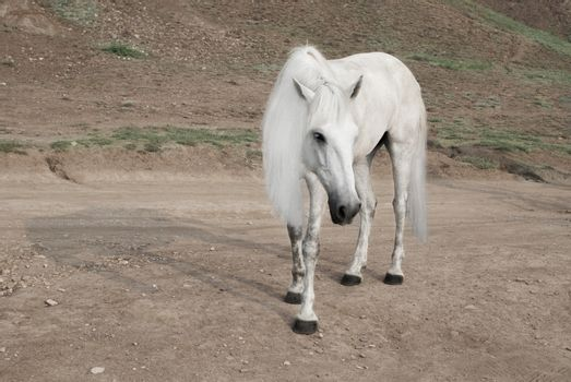 white horse with a beautiful mane