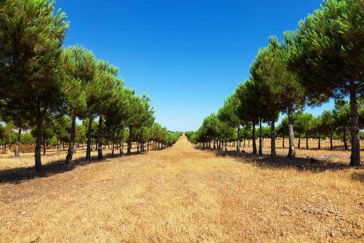 Evergreen fir plantation