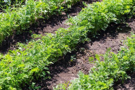 vegetable beds baby carrots in the garden