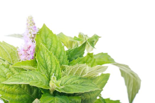 Closeup view of bush of fresh mint over white background