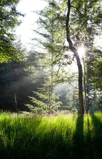 sunbeams in green forest over spruce