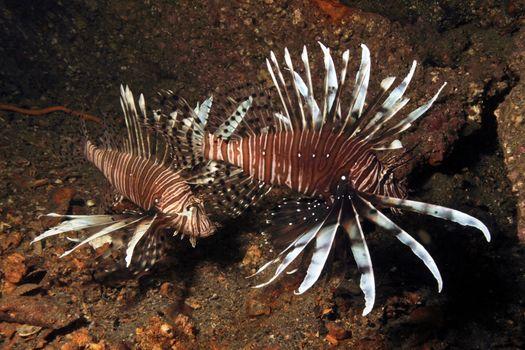 Lionfish, Invasive 1