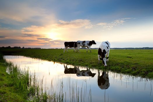 cows grazing on pasture at sunset