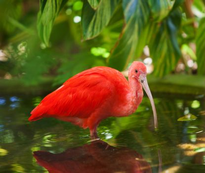 Scarlet Ibis Wading