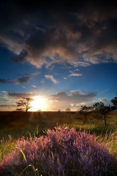 sunbeams over flowering heather