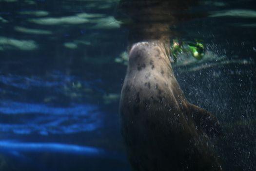 huge seal in aquarium close up