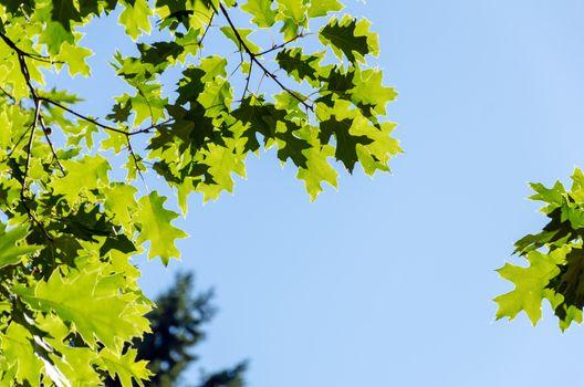 Green sunlit leaves set against a blue sky