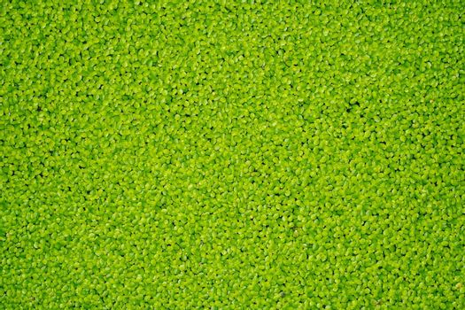 green algae occur in naturally