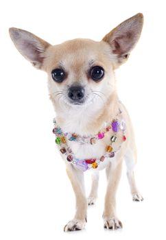 chihuahua and collar