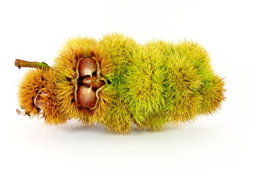 Edible chestnuts inside husk isolated on white