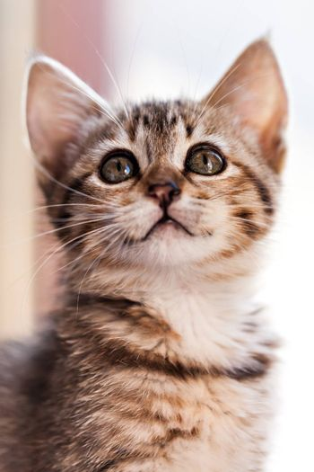 Candid shot of a kitten looking up. Extreme close up. Focus on eyes.