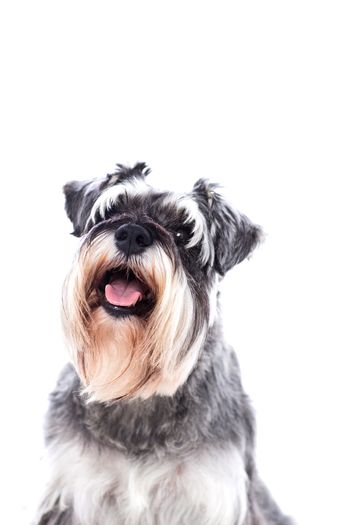 Portrait of a beautifully groomed schnauzer