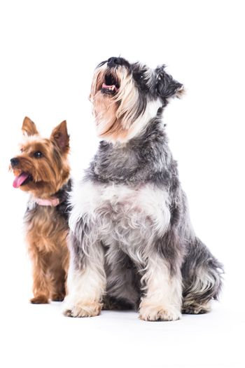 Two adorable obedient dogs