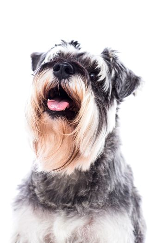 Portrait of a beautiful schnauzer dog