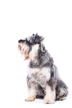Sitting schnauzer dog