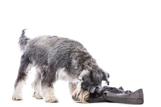 Schnauzer chewing on a pair of shoes