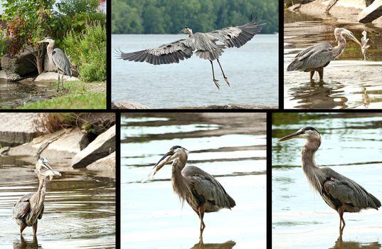 great blue heron montage