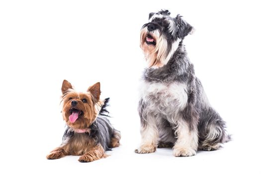 Two obedient dogs sitting to command