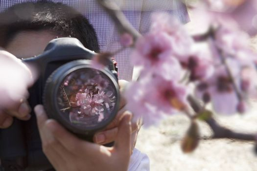 Father helping his son take photographs of the cherry blossoms on the branch, springtime, Beijing