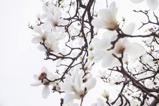 Close-up of white Magnolia tree blossoms.