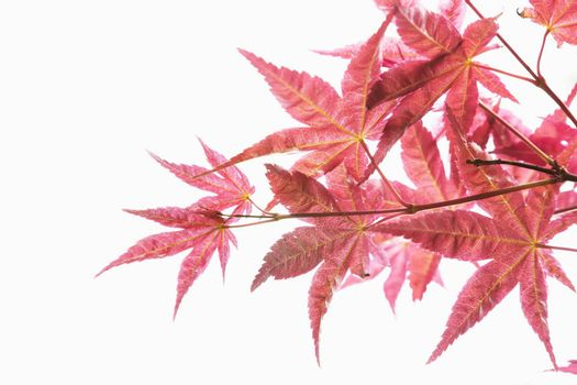 Close-up of red maple leaves.
