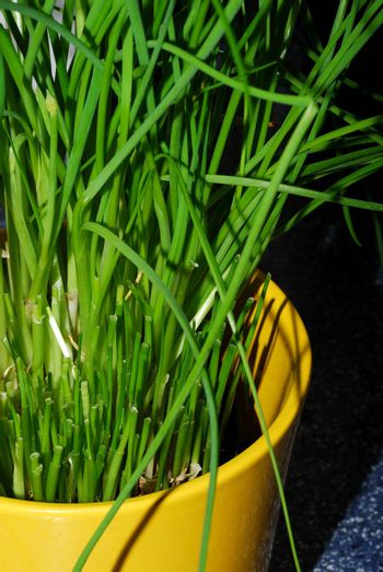 healthy fresh green chives in a yellow pot in the kitchen