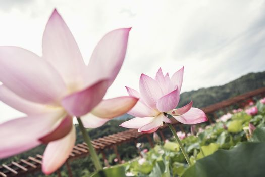 Close-up of two pink lotus flowers on a lake, China