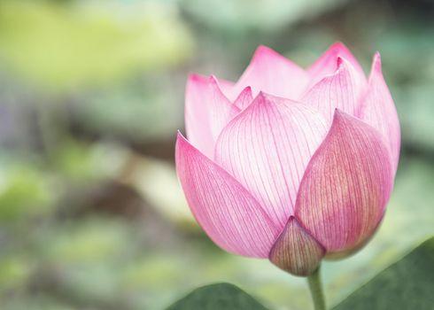 Close-up of pink lotus flower on a lake, China