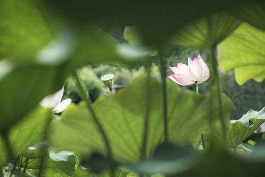 Pink lotus flower on a lake in China