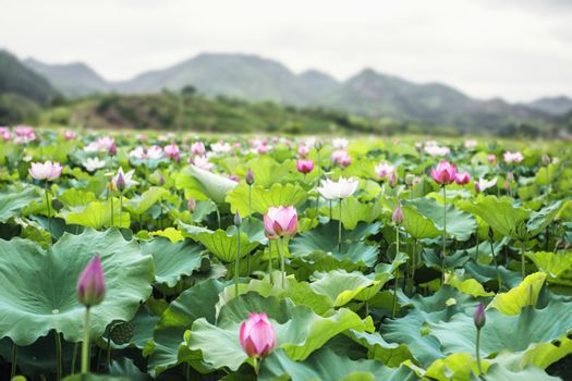 Close-up of pink lotus flowers on a lake in China, mountains in background
