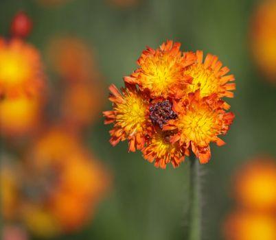 The bud of an Orange Hawkweed (Hieracium) wild flower shot in Cambridge, Ontario.