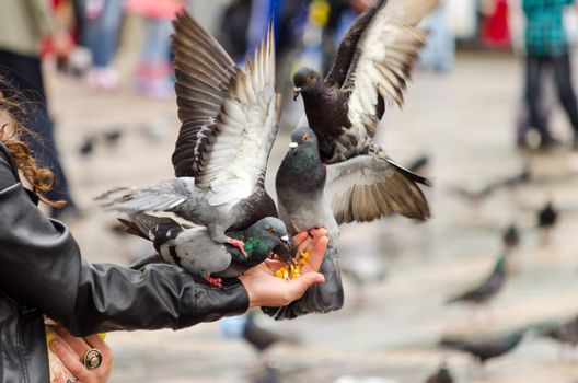 Pigeons flocking to eat corn from a hand in the Plaza de Bolivar in Bogota, Colombia