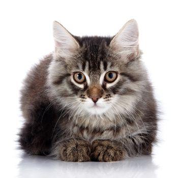 Fluffy beautiful cat
