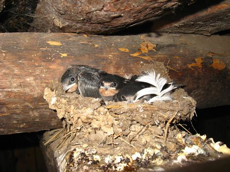image of nest of a swallow with nestlings