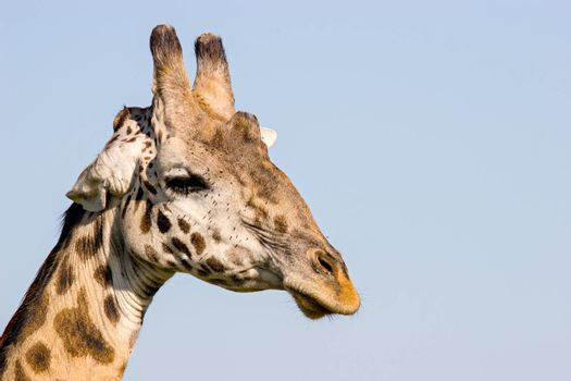 Close up of a giraffe, in Massai Mara, Kenya.
