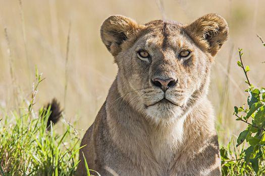 Portrait of a lioness in the savannah in Massai Mara, Kenya. Scientific name: Panthera Leo.