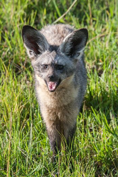 Bat eared fox in Massai Mara, Kenya.