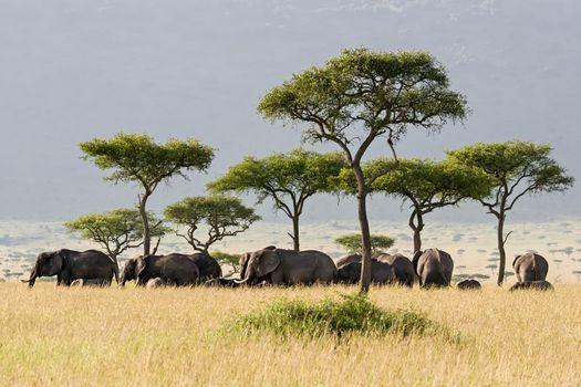 Elephant herd walking through the Savannah in Massai Mara, Kenya.