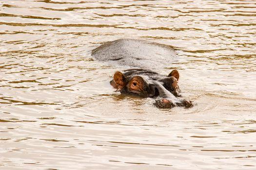 Hippo at the Hippo Pond in Massai Mara, Kenya.