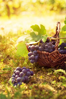Grapes harvest