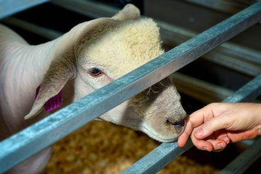 Sheep touch
