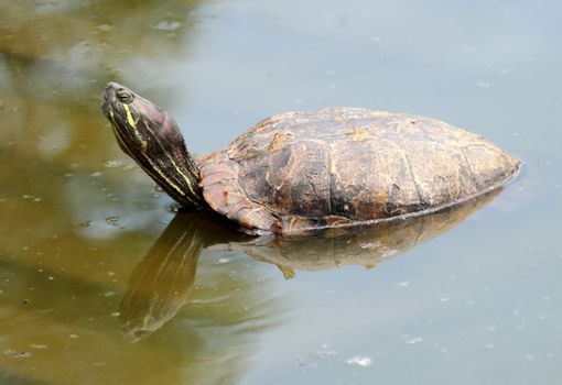 Red eared slider turtle in water