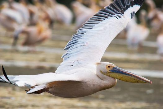 Great White Pelican (Pelecanus onocrotalus) in flight. Lake Nakuru, Kenya