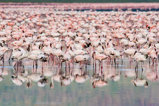 Thousands of Flamingos on Lake Nakuru, Kenya. Scientific name: Phoenicopterus minor